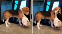"""""""Este mi perro es un cachorro Beagle. Su nombre es Bruno y mi pato se llama Tweeti"""", dijo su familia."""