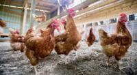 Gripe aviar H10N3: ¿será peligrosa? conoce todos los detalles del nuevo virus de China