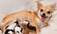 Los perros dan señales cuando van a iniciar el parto.
