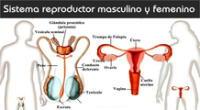 Aprendamos acerca del sistema o aparato reproductor humano.