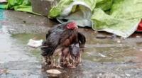 De acuerdo al medio LiveScience, las gallinas tienen ciertos instintos ante el peligro.