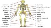 El sistema esquelético humano.