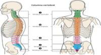 La columna vertebral y sus partes.