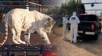 El tigre se escapó de su jaula en un zoológico de Chile.
