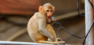 India: Detienen a dos hombres por utilizar monos para robar en las calles