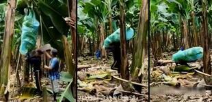 Un mal paso: quiso ayudar a recoger plátanos y termina aplastado por costal [VIDEO]
