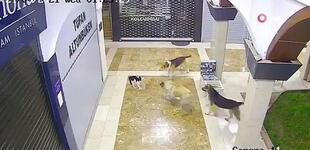 Twitter: cámaras captan a valiente gata enfrentándose a tres perros para salvar a su cachorro [VIDEO]