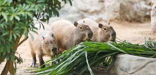Parque de las Leyendas habilita terreno para cosechar alimentos de animales