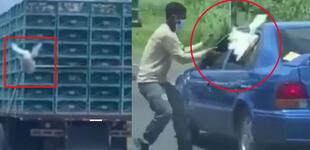Gallina escapa de un camión de carga, pero hombre lo atrapa a los segundos y se la lleva [VIDEO]