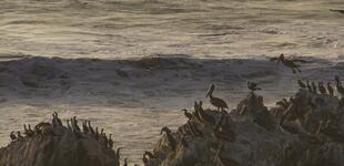 Hogar de pingüinos de Humboldt, busca ser Reserva Nacional