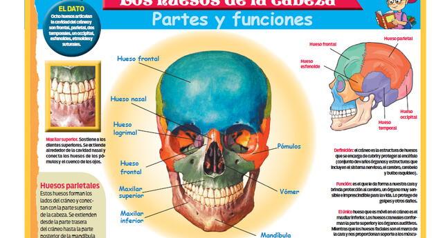 Los Huesos De La Cabeza Partes Y Funciones El Popular