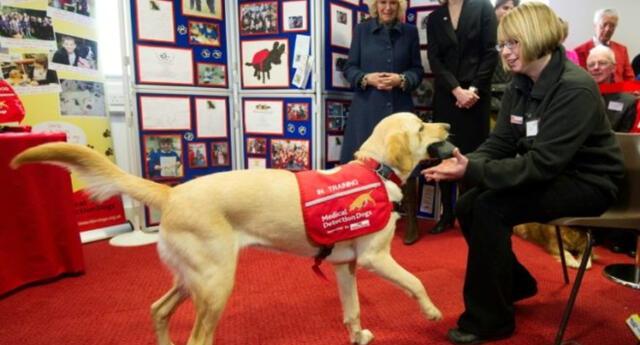 Perros de detección médica en Londres.