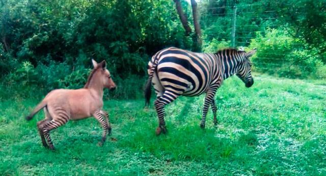 El híbrido animal se trataba de un zonkey, una cebra-burro.