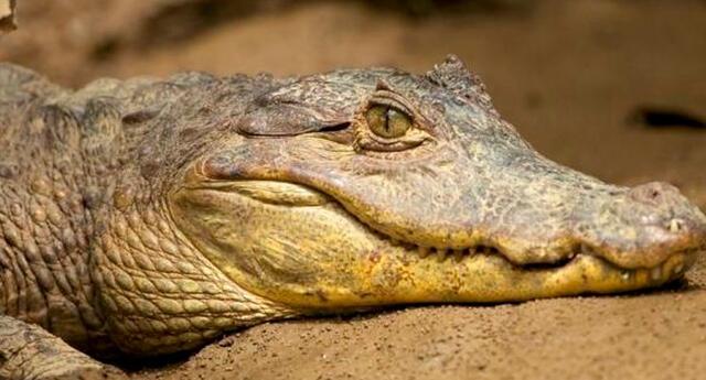 La madre no tuvo miedo en enfrentarse al cocodrilo.
