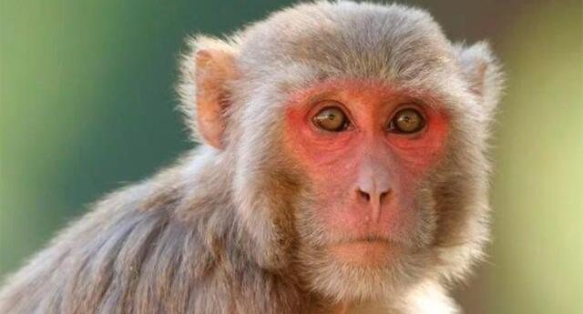 Monos Rhesus.