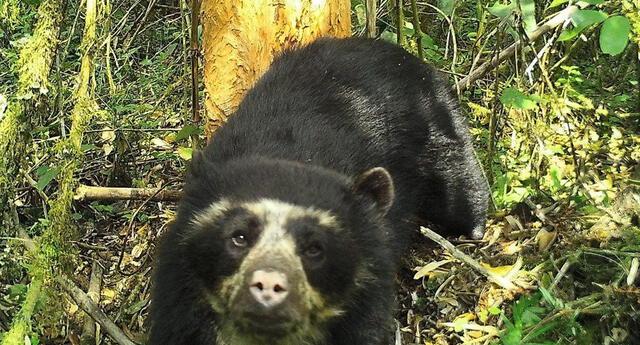 Oso de anteojos se encuentra en peligro de extinción   Foto: Sernanp