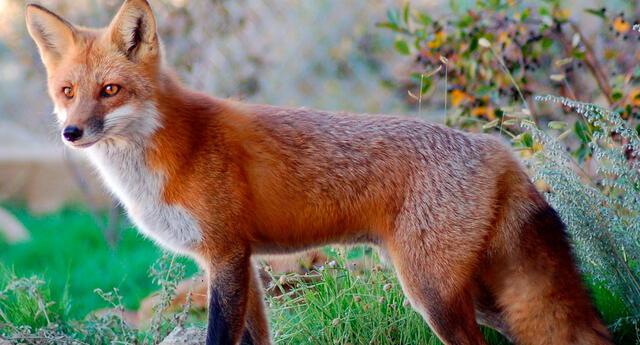 Mujer alimenta a zorro por años sin imaginar que el animal le llevaría a sus crías