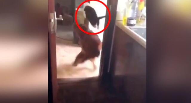 ¿Gato volador? El video publicado en Facebook muestra la impresionante maniobra que realizó este gatito para evitar ser capturado por un perro.