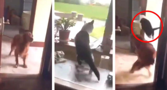 En Facebook se hizo viral el clip del gatito saltando de una forma impresionante para esquivar al perro que interrumpía su paso.