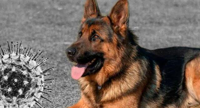 El primer perro en dar positivo al coronavirus murió en Estados Unidos