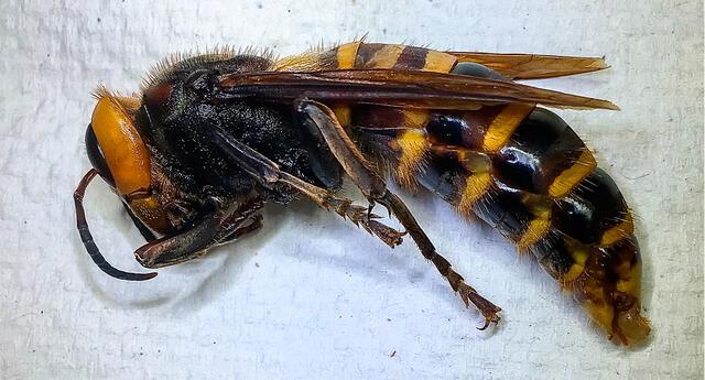 """Avispón gigante asiático, conocido como """"avispón asesino"""""""