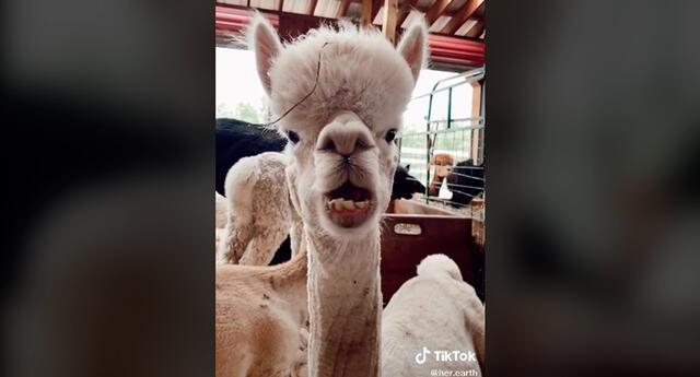 La alpaca en plena interpretación de pegajoso ritmo musical