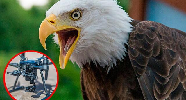 Águila calva atacó a dron que volaba sobre el lago Míchigan.
