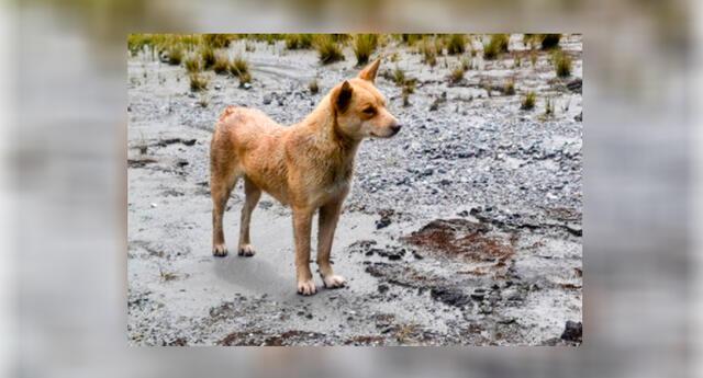 Perro cantor de Nueva Guinea.