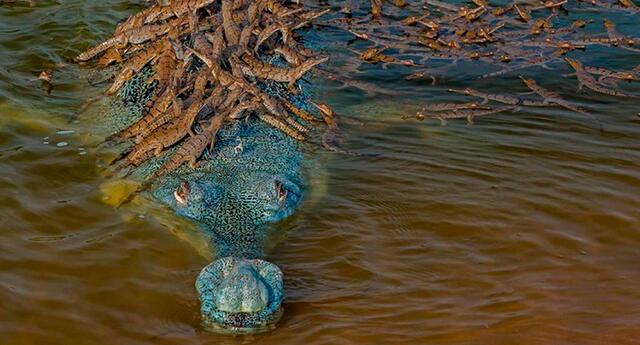 Foto del cocodrilo Gavialis gangeticus y sus más de 100 crías.