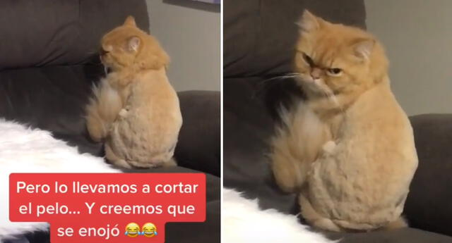 El gato demostró su enojo por el corte de pelo.