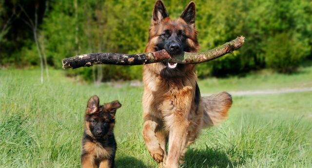 El perro defendió a su hermano menor de los regaños de su dueña.