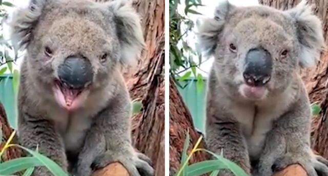 El comportamiento del koala asombró a los usuarios de Facebook.