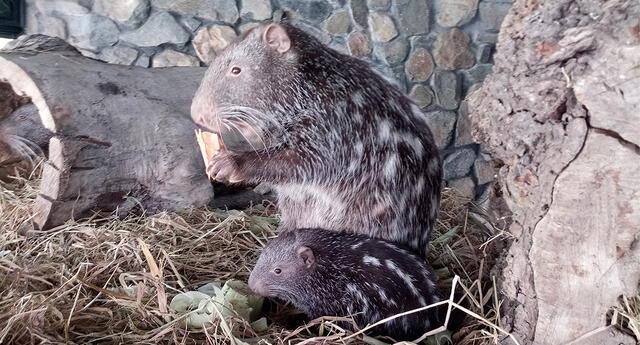 La pacarana es el segundo roedor más grande de Sudamérica.
