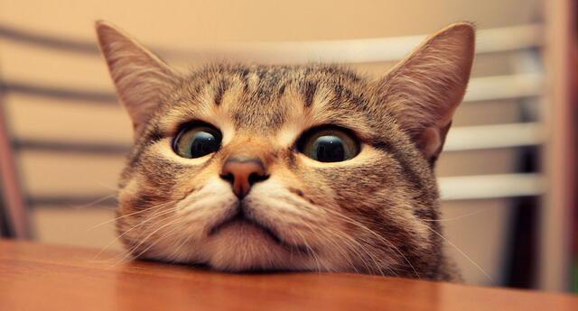 Evita los problemas renales tempranos en tus gatos.