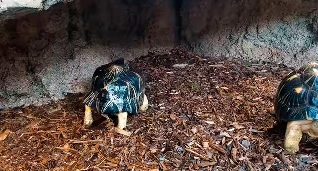 """La tortuga de nombre """"Turnip"""" baila cuando su cuidador le hecha agua con la manguera."""