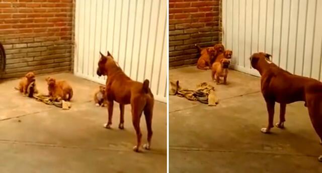 Los cuatro pequeños cachorros tiran de una manta que está en el suelo.