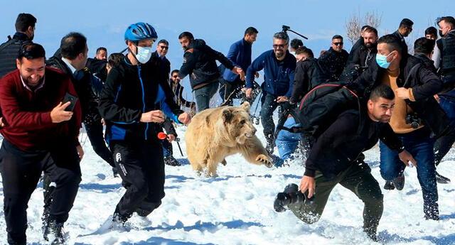 Los osos pardos sirios se consideran subespecies en peligro de extinción, según Bear Conservation.