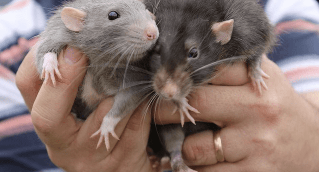 Entérate qué significa soñar con ratas