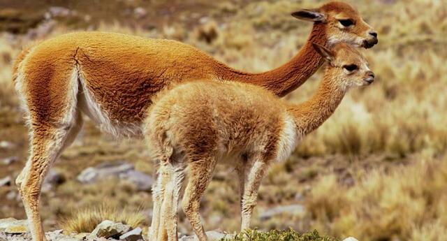 Hallan 50 vicuñas muertas
