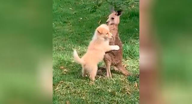 Perrito y canguro protagonizan tierno momento