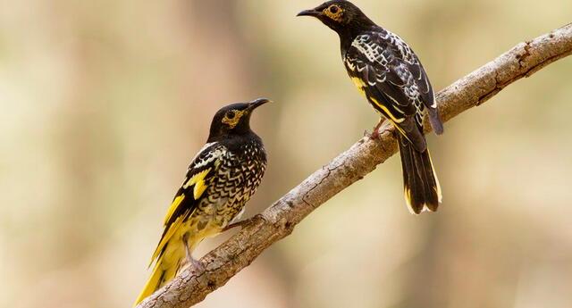 El mielero regente es un pájaro de Australia en peligro de extinción.