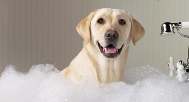 Conoce los cuidados para bañar a tu perro.