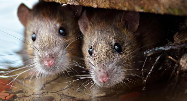 Soñar con ratas suele ser un mal presagio y están relacionadas con futuros problemas.
