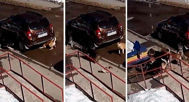 El gato escapó de los perros con una gran habilidad