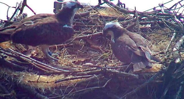 Se espera que la pareja reproductora pudiera poner más huevos en otra plataforma de nido.