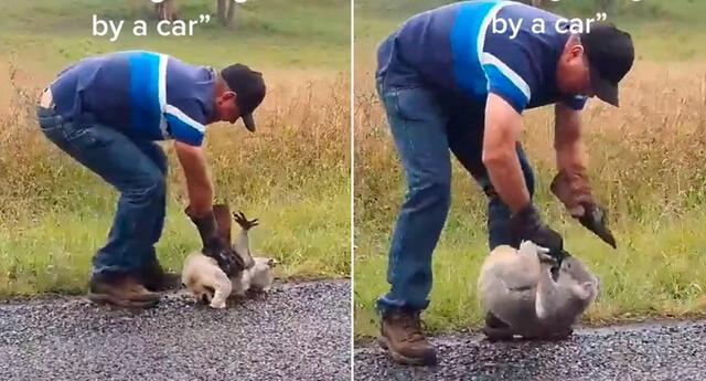 El koala se negó a rescatado por el granjero.