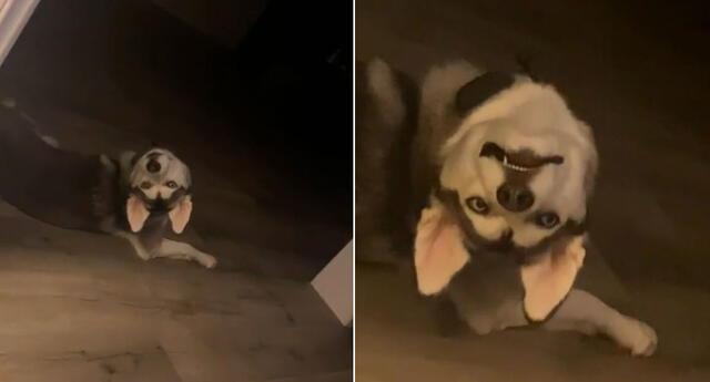 El perrito es capaz de voltear su cabeza en 180 grados.