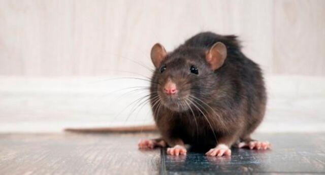 Soñar con ratas podría cambiar tu futuro. Conoce aquí.