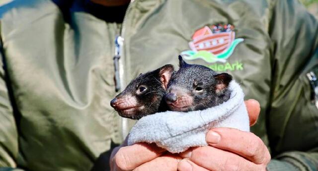 Se calcula que casi 25 mil demonios viven aún en la isla de Tasmania.