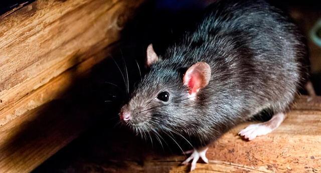"""""""Las ratas son animalitos que salen de noche, por eso podemos relacionarlas con la carta de La Luna, que es el arcano de los enemigos ocultos """", dijo la tarotista Victoria Arderius."""